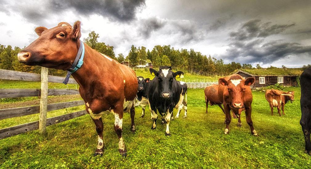 Simasvollen Diary Farm in Vingelen, Tolga. © 2015 Liell Photography
